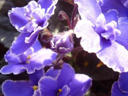 violet-bud.jpg