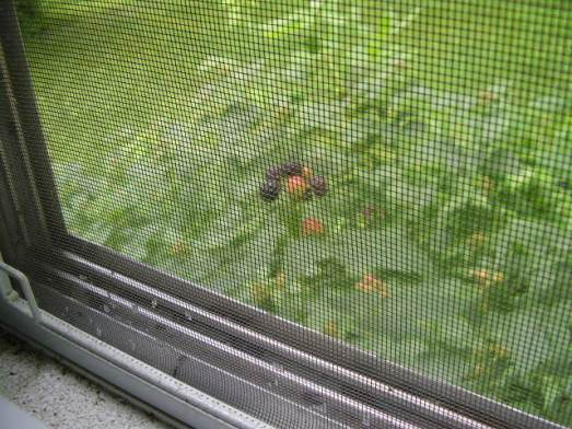 why yes, those are berries outside my window